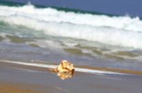 Sea Shell, Roncha  רונצ'ה